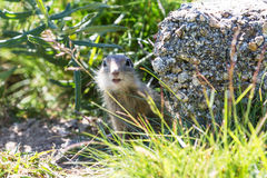 Funny gopher, suslik looking at camera. Funny close-up gopher, suslik looking at camera Royalty Free Stock Photo