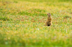 Funny gopher in two feet in green field in summer Stock Images