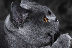Funny gray British cat with bright Royalty Free Stock Photography