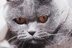 Funny gray British cat with bright yellow eyes Royalty Free Stock Photo