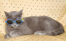 Funny Gray British Cat With Sunglasses Stock Images