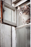 Funny gray cat sitting in the window Stock Photography
