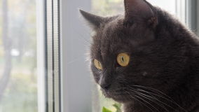 Funny gray cat is sitting at the window stock footage