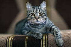 Funny gray cat on a sofa Stock Photos