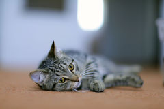 Funny gray cat on a sofa. Sad Stock Photo