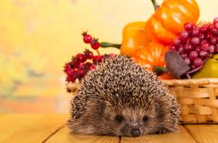 Funny gray hedgehog sits on table, next to basket of vegetables and fruits Stock Photo