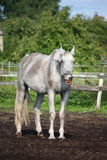 Funny gray horse yawning portrait Stock Photo