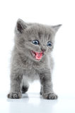 Funny gray kitten Stock Photos