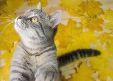 Funny gray kitten is playing with the yellow leaves royalty free stock images