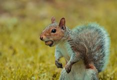 Funny gray squirrel gets caught with a nut in his mouth stock photo