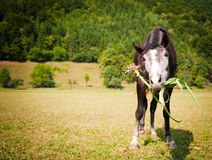 Funny grazing horse close-up. Funny grazing chestnut horse close-up Royalty Free Stock Image