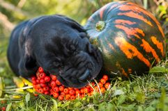 Great Dane dog and pumpkin. Funny Great Dane dog puppy and pumpkin Royalty Free Stock Image