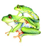 Funny green frogs with red eyes Royalty Free Stock Images