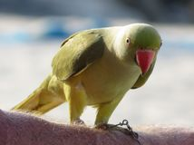 Funny green parrot on arm. Royalty Free Stock Image