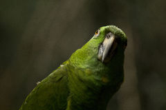 Funny green parrot Stock Image