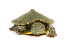 Funny green turtle. On parade or walking around isolated on a white background Royalty Free Stock Photography