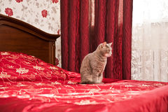 Funny grey cat in bedroom interior Stock Images