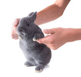 Funny grey dwarf  fluffy rabbit   in children's hands. Isolated Royalty Free Stock Photos