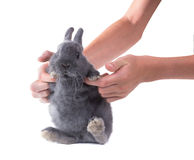 Funny grey fluffy dwarf bunny  in children's hands. Isolated on w Royalty Free Stock Images