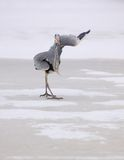 Funny Grey Heron /Area cinerea/ Stock Image