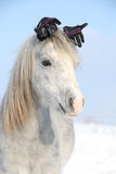 Funny grey pony with glowes in winter Royalty Free Stock Photography