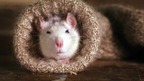 Funny grey-and-white rat peeks out of a wool sock