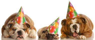 Funny groaning birthday dogs Royalty Free Stock Photos