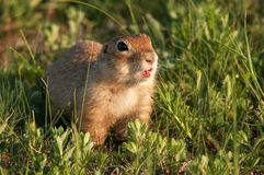 Funny ground squirrel Spermophilus pygmaeus in the grass.  Royalty Free Stock Image