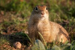 Funny ground squirrel Spermophilus pygmaeus in the grass.  Royalty Free Stock Photography