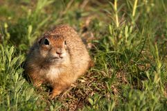 Funny ground squirrel Spermophilus pygmaeus in the grass.  Stock Photography