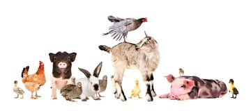 Funny group of farm animals. Isolated on white background stock image