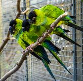Funny group of Nanday conures sitting on a branch in the aviary, Colorful and tropical birds from America. A Funny group of Nanday conures sitting on a branch in royalty free stock image