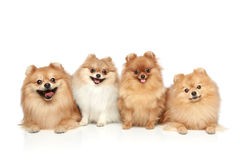 Funny group of Spitz puppies. On a white background Royalty Free Stock Photo