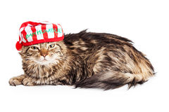 Funny Grumpy Christmas Cat Royalty Free Stock Images