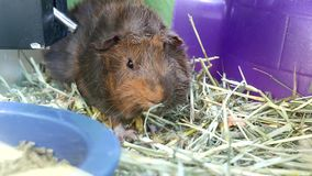 Funny guinea pig eating food in cage stock video