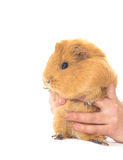 Funny guinea pig Stock Photos