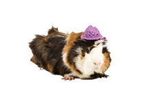 Funny guinea pig in a hat Royalty Free Stock Photos