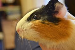 Funny guinea pig looking to the side Royalty Free Stock Photos