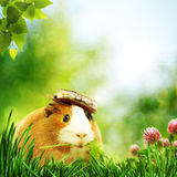 Funny Guinea Pig Or Cavia Royalty Free Stock Photography