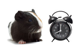Funny guinea pig Royalty Free Stock Photos