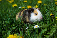 Funny guinea pig Royalty Free Stock Photography
