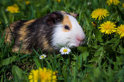 Funny guinea pig Royalty Free Stock Photos