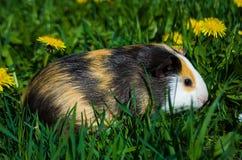 Funny guinea pig. Went for a walk stock photos