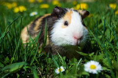 Funny guinea pig Stock Images
