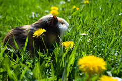 Funny guinea pig Royalty Free Stock Image
