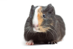Funny guinea pig Stock Photography