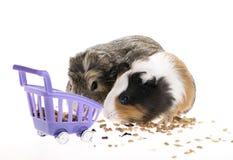 Funny guinea pigs Stock Photo