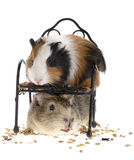 Funny guinea pigs Royalty Free Stock Images