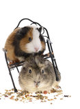 Funny guinea pigs Stock Image