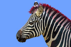Funny hair. A comic circus zebra with stripes and a red hairdue Royalty Free Stock Photo